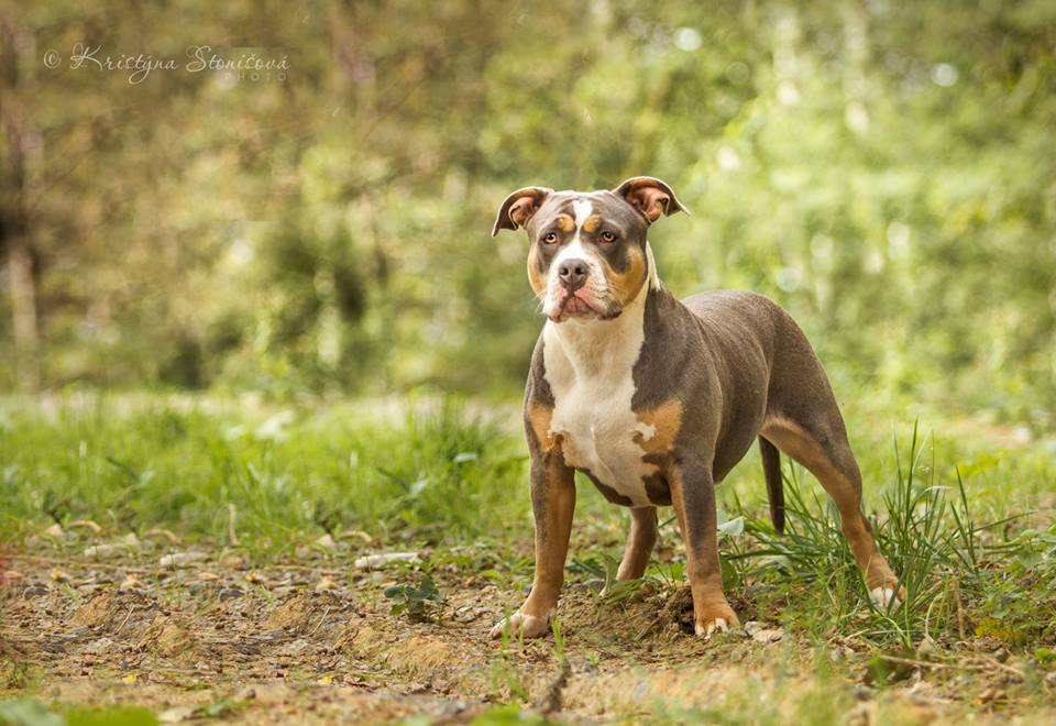 Lily_american_bully